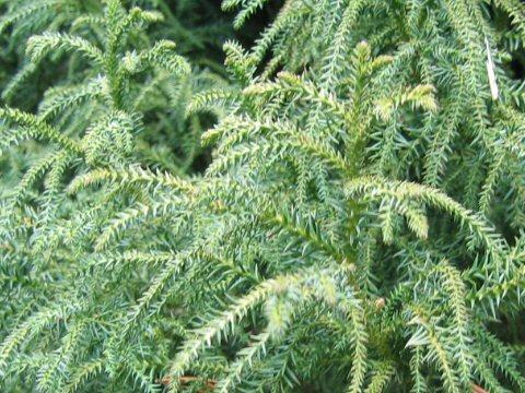 錨杉はどんな植物?Weblio辞書