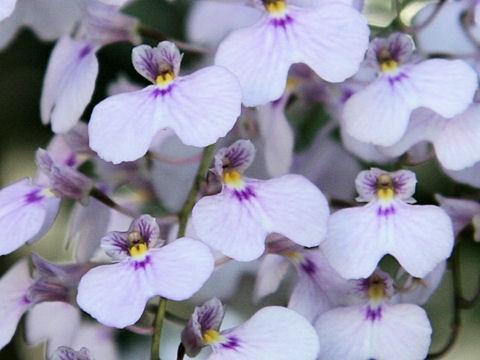 イオノプシス・ギカンテアはどんな植物?Weblio辞書