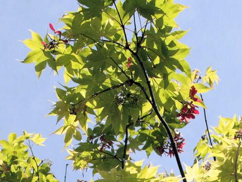 Acer palmatum cv. O sakazuki