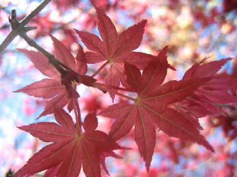 Acer palmatum cv. Beni sengoku