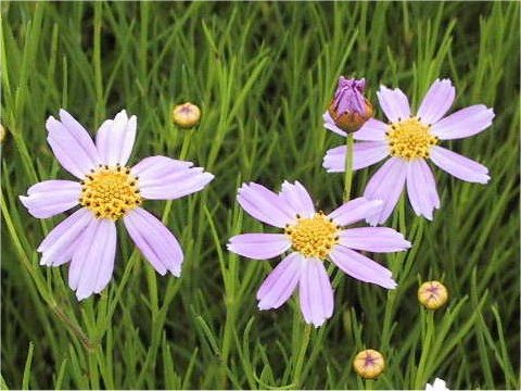 糸葉ハルシャ菊はどんな植物 weblio辞書