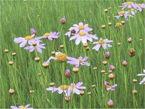 糸葉ハルシャ菊