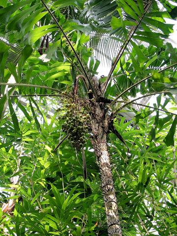 尾鰭針孔雀椰子