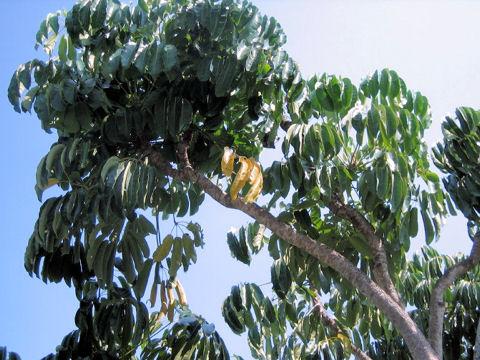 オクトパスツリー