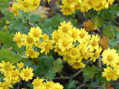 隠岐の油菊