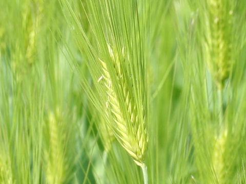 英語 大麦