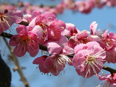 Prunus mume cv. Kagoshima Beni