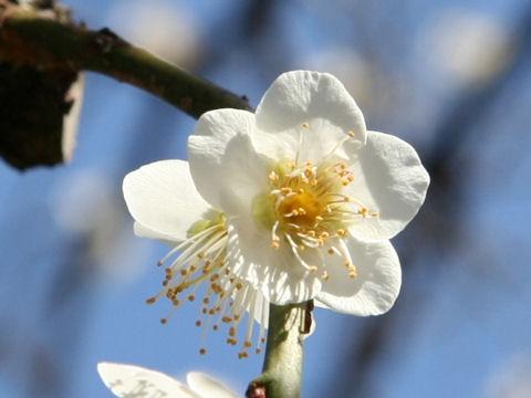 Prunus mume cv. Ryokugaku Shidare
