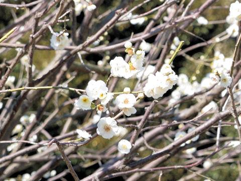 Prunus mume cv. Tairin Ryokugaku