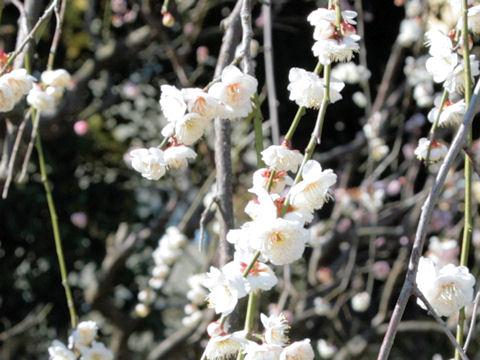 Prunus mume cv. Takasago Shidare