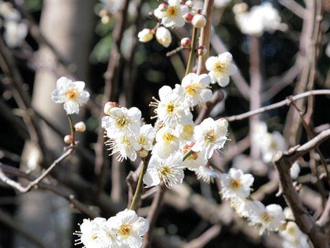 Prunus mume cv. Gyokuei