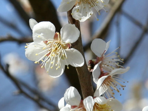 Prunus mume cv. Koume
