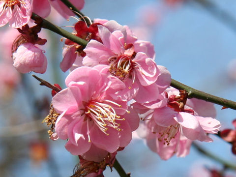 Prunus mume cv. Dairi Koubai