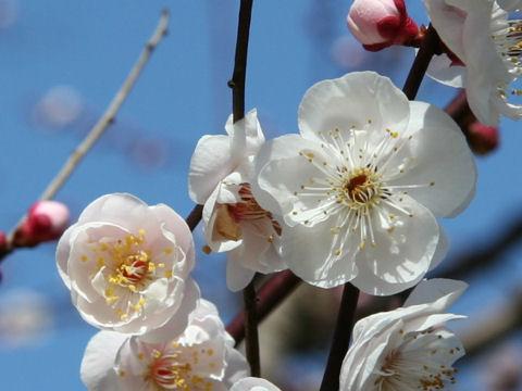 Prunus mume cv. Yae Ageha
