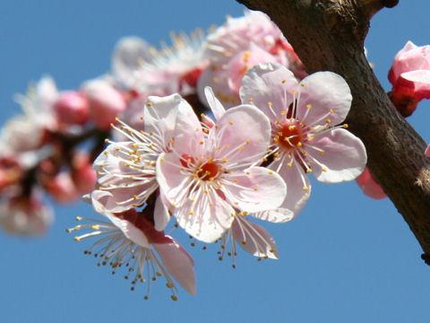 Prunus mume cv. No.1 Kitano
