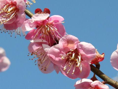 Prunus mume cv. No.2 Kitano