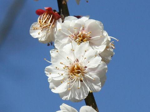 Prunus mume cv. Kasugano