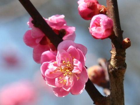 Prunus mume cv. Kuroki-no-Ume