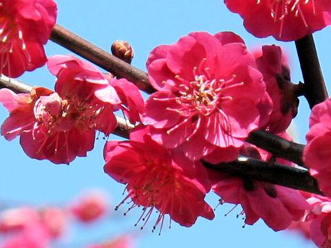 Prunus mume cv. Kankou