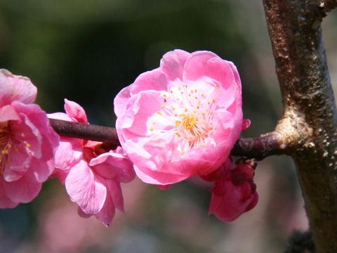 Prunus mume cv. Reikanji Koubai