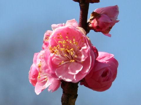 Prunus mume cv. Dongein Koubai