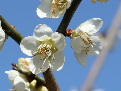 Prunus mume cv. Shiro Hitoe Aojiku