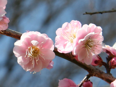 Prunus mume cv. Asahi Hikari