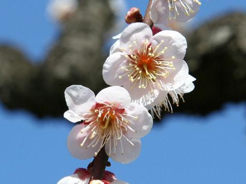 Prunus mume cv. Sango