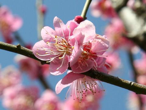 Prunus mume cv. Chidori