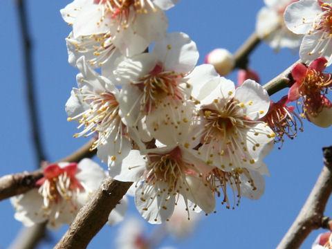 Prunus mume cv. Kichirobei