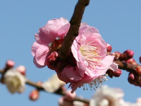 Prunus mume cv. Genpei
