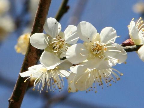 Prunus mume cv. Kampaku