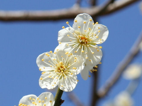 Prunus mume cv. Shiratama Ume
