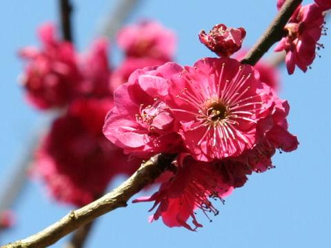 Prunus mume cv. Koiaka Yae