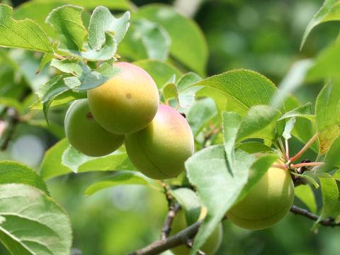 Prunus mume cv. Oushuku Bai