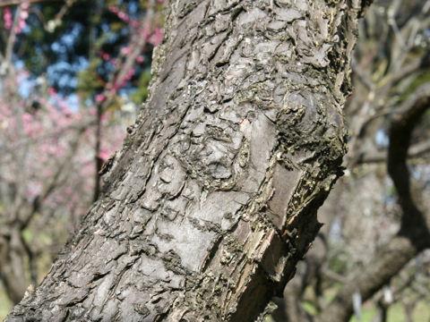 Prunus mume cv. Bungo Ume Tairin