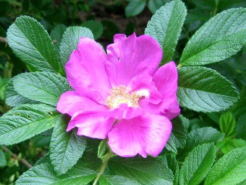 Rosa cv. Scabrosa