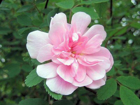 Rosa cv. Blush Boursault