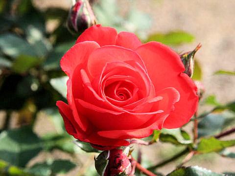 Rosa cv. Hanabusa