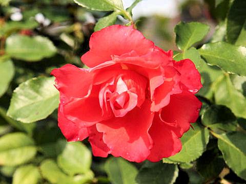 Rosa cv. Ingrid Bergman