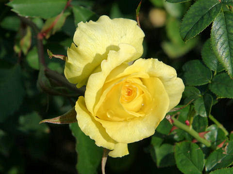 Rosa cv. McGredy's Yellow