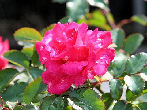 Rosa cv. Elveshorn