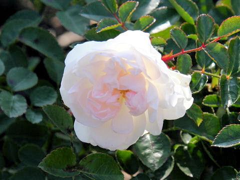 Rosa cv. Swany