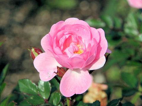 Rosa cv. Baby Carol
