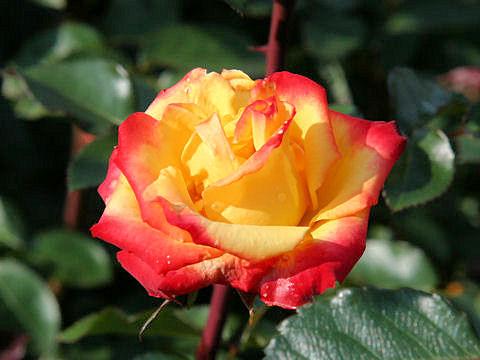 Rosa cv. Rumba