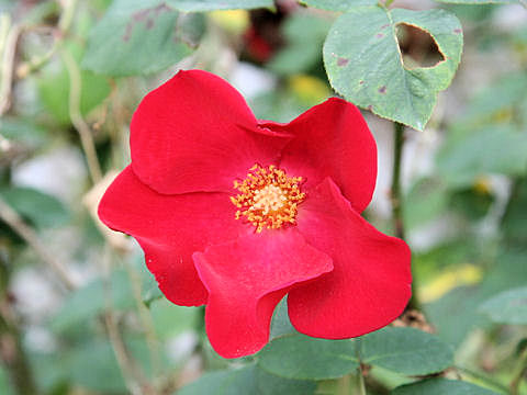 Rosa cv. Polyantha