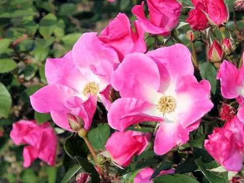 Rosa cv. Nearly Wild