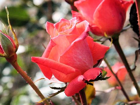 Rosa cv. Marina