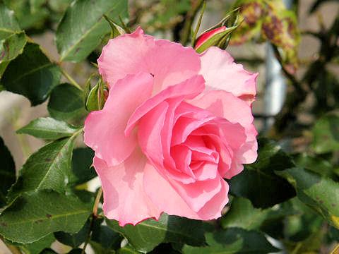 Rosa cv. Rosendorf Sparrieshoop