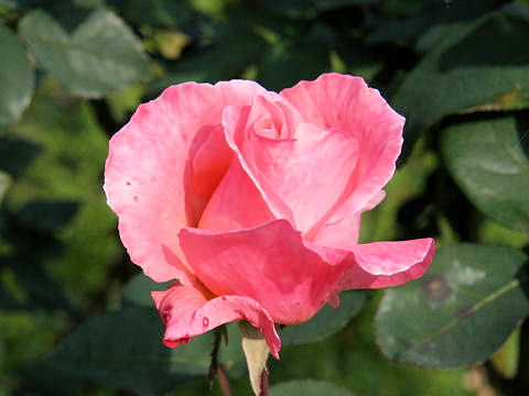 Rosa cv. Salmon Gaujard
